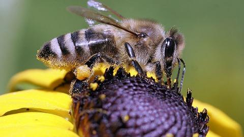 Les abeilles menacées d'extinction