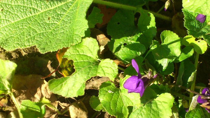 violettes Toulouse janvier 2014 des Violettes à Toulouse en ce début de janvier