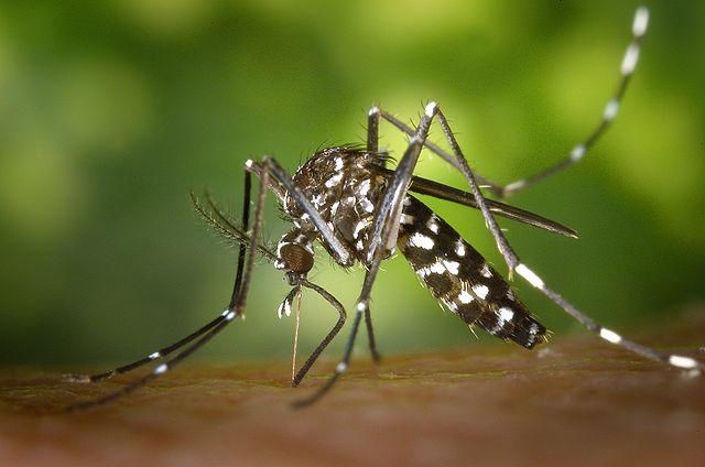 Moustique tigre : alerte renforcée en Haute Garonne pour la dengue et le Chikungunya