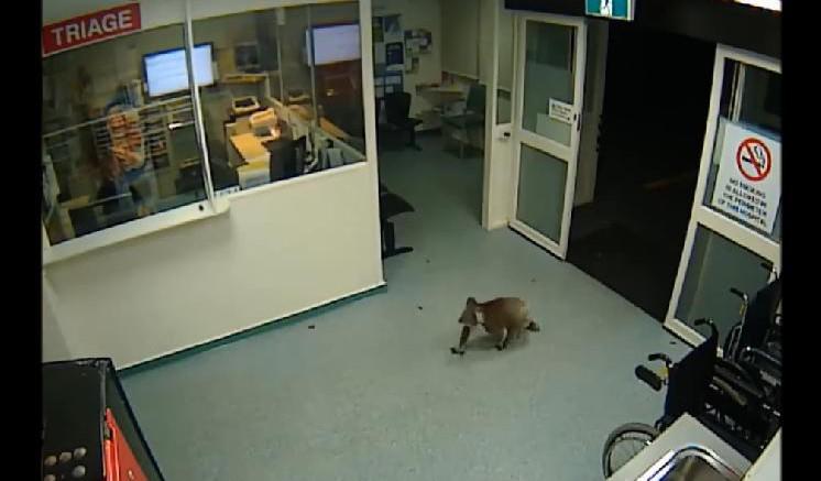 koala hopital Australie