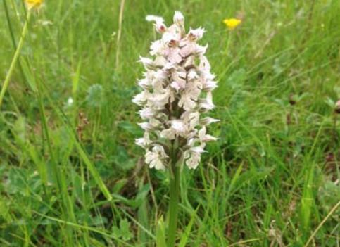 Photo Orchis lacté en fleur – DDT Haute-Garonne