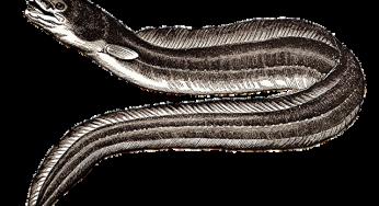 Les anguilles de l'Adour et des Gaves peuvent être vendues et mangées