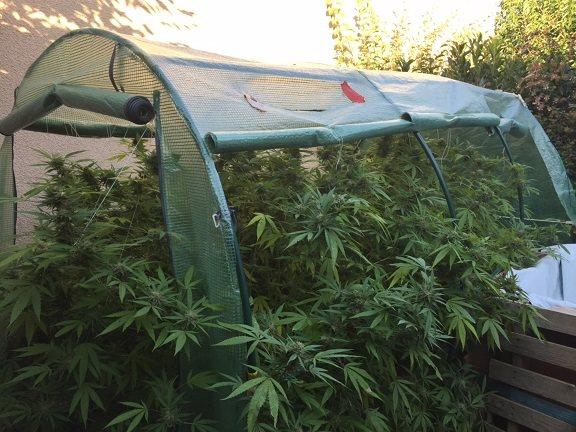 Toulouse Launac - Attirés par l'odeur, les gendarmes saisissent 12 kilos de Cannabis