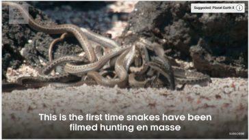 Iguane contre Serpents, la vidéo de la BBC fait le buzz