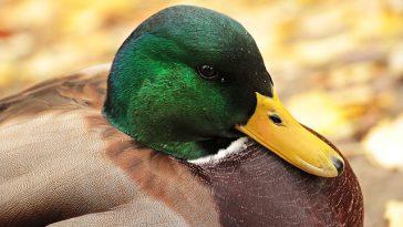 Un 2e foyer de grippe aviaire dans les Hautes Pyrénées : inquiétudes pour les producteurs de canard