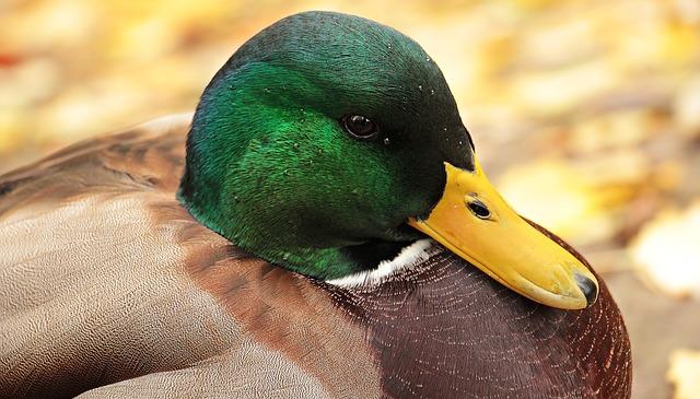 Grippe aviaire: la France ne peut toujours pas réexporter son foie gras