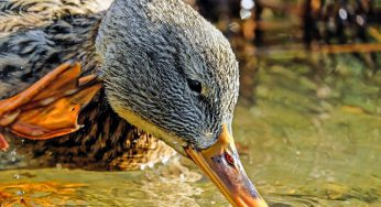 """Un foyer de grippe aviaire """"hautement pathogène"""" dans le Tarn"""