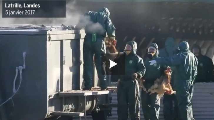 Abattage de canards. la vidéo choc