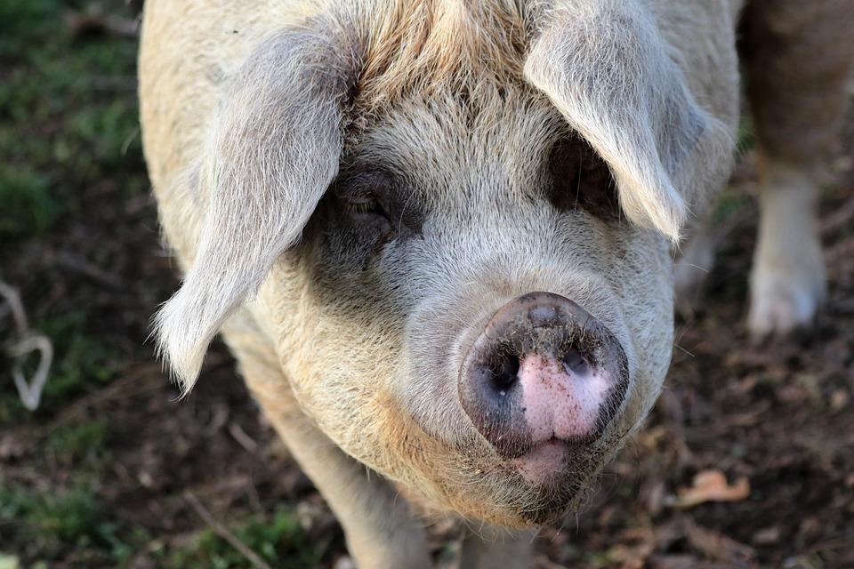 l'Isle en Dodon. les gendarmes arrêtent un cochon qui divaguait dans les rues
