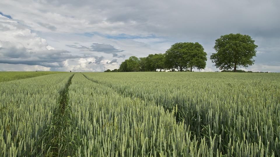 Alerte à la rouille du blé en Europe
