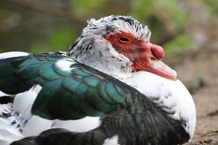 Grippe aviaire. tous les canards abattus aussi dans le Gers, le Tarn et les Hautes Pyrénées ?