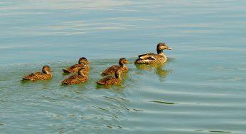 Grippe Aviaire dans le Sud Ouest. Le Foll présente mercredi son plan d'indemnisation