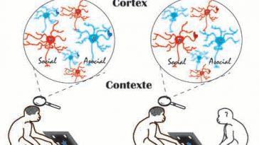 Des chercheurs français découvrent des neurones sociaux dans le cerveau