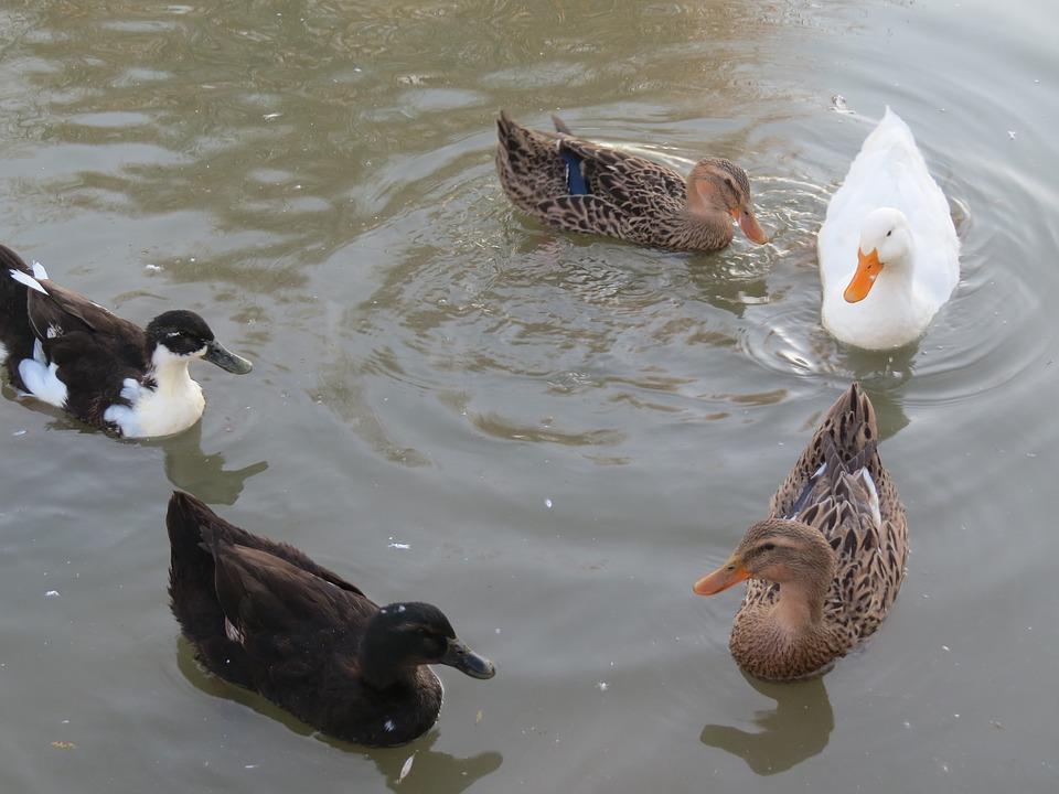 Grippe aviaire. Retour des canards sous hautes surveillance en Haute Garonne
