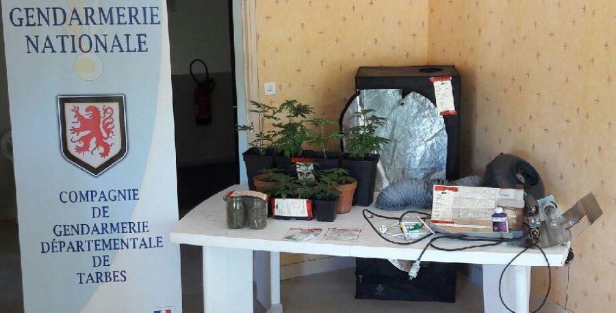 Les gendarmes de Tarbes saisissent 11 pieds de cannabis et 240 grammes de drogue