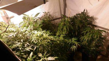 54 pieds de Cannabis saisis par les gendarmes de Tarbes