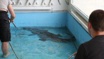 Un crocodile, un boa, un anaconda. l'étonnante saisie des gendarmes des Hautes Pyrénées