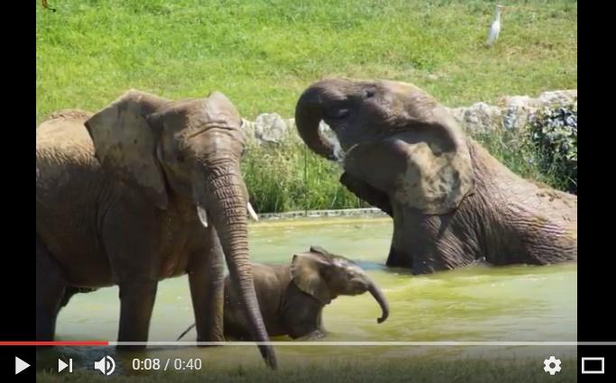 Vidéo - le bébé éléphant né à Toulouse a pris son 1er bain