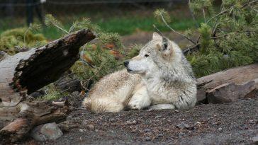 Abattage des loups: la réaction des éleveurs