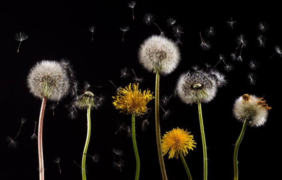 Alerte rouge aux pollen de graminées à Toulouse