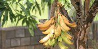 La production mondiale de Banane menacée par un champignon