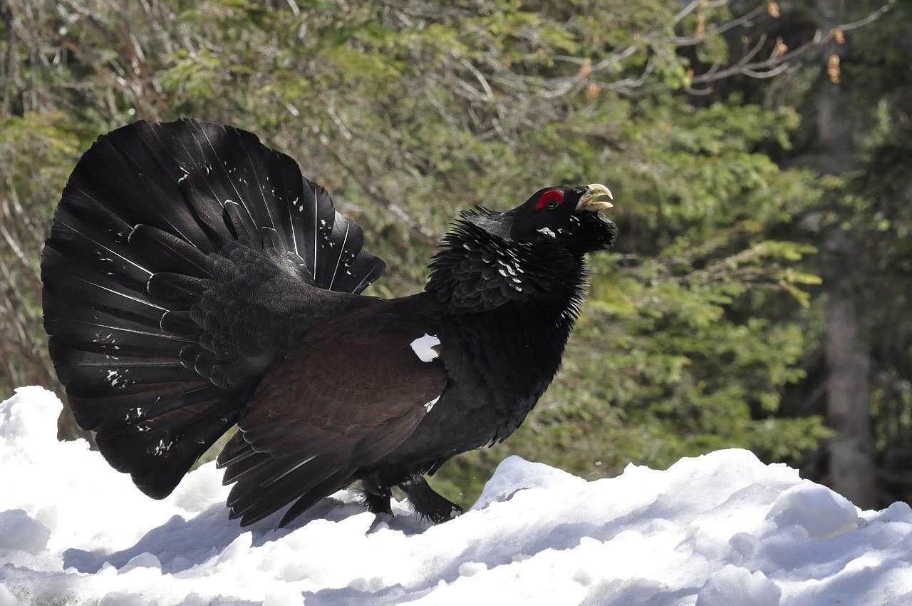Chasse au Grand Tétras dans les Pyrénées, l'Etat lourdement condamné