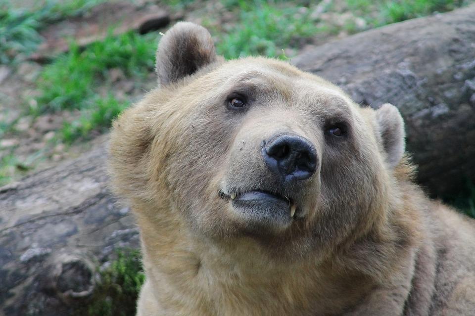 Nicolas Hulot annonce la réintroduction de 2 ourses femmes dans les Pyrénées