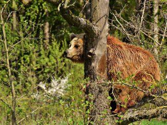 L'ours dans les Pyrénées possède également une place symbolique, puisque le culte de l'ours est attesté à travers les divinités du panthéon pyrénéen associées à cet animal jusqu'aux carnavals folkloriques qui perdurent à l'époque moderne. Les nombreuses toponymies issues de ce plantigrade, un légendaire foisonnant et les contes populaires circulant à son sujet témoignent d'une importance de premier plan pour l'ours dans les Pyrénées et à toutes les époques. Les montreurs d'ours pyrénéens, en particulier ariègeois, ont acquis une réputation de savoir-faire bien au-delà de leurs frontières d'origine.