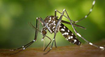 Moustiques Tigres. Colomiers va tester un dispositif piège