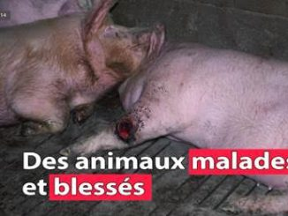 Tarn. L'association L214 porte plainte contre un élevage de cochons