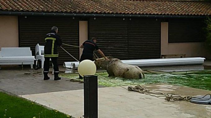 Un cheval dans une piscine à Cadours à l'ouest de Toulouse