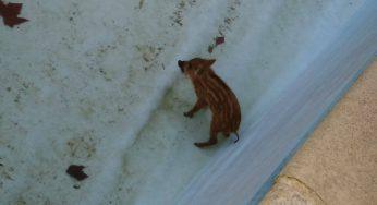 Toulouse. Un petit sanglier découvert dans une piscine à Castelginest