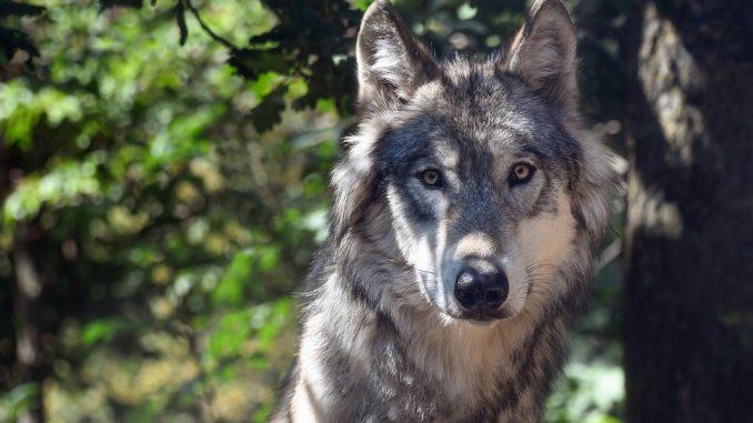 Aveyron : les membres de la brigade loup sont intervenus sur le Larzac