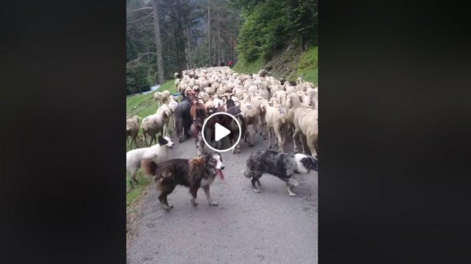 Pyrénées. la vidéo de la transhumance qui fait le buzz sur facebook