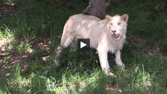 Tarn. Un lion blanc, nouvel arrivé au Zoo des 3 vallées