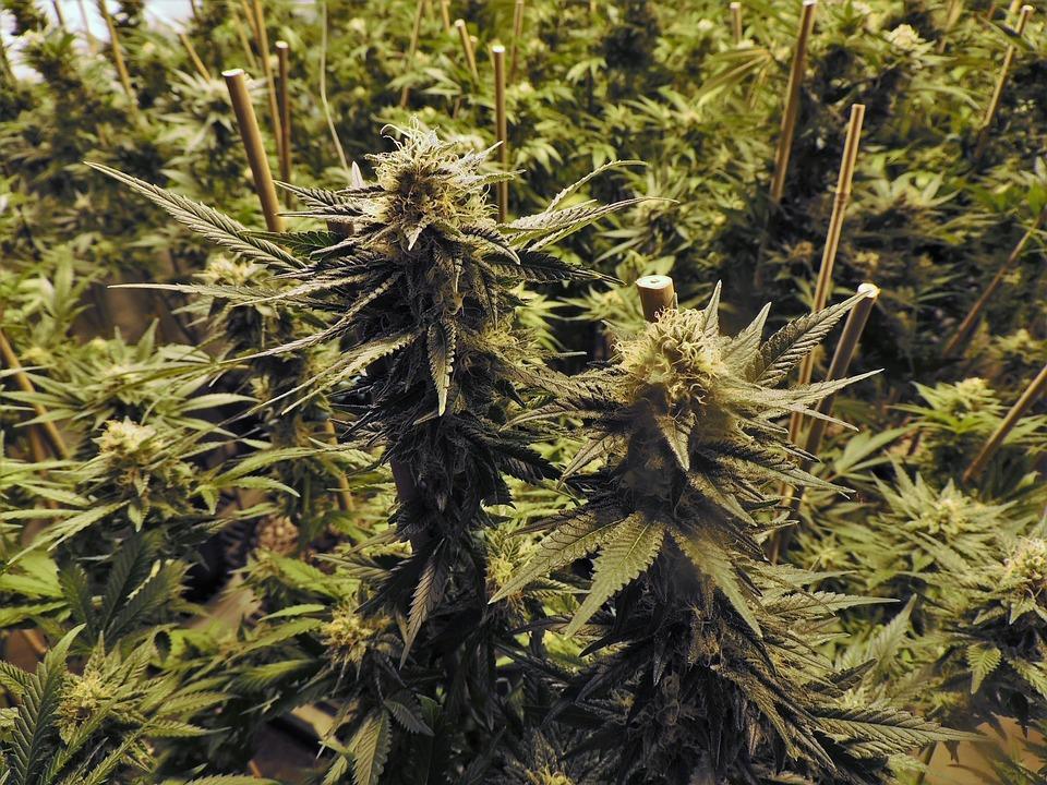 5 tonnes de Cannabis saisies en une semaine dans le Sud Ouest
