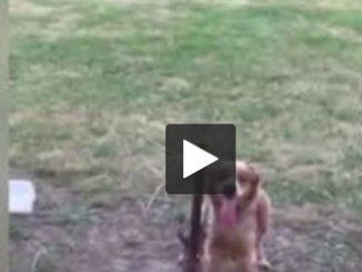 Oise. un chien enchaîné sous la canicule soulève l'indignation et une enquête