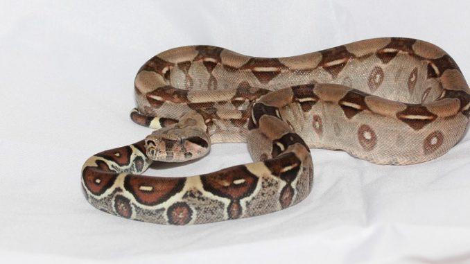 Le Boa constricteur (Boa constrictor) est une espèce de serpents de la famille des Boidae1. Anciennement appelé Boa devin ou Aviosa, c'est un très grand serpent que l'on rencontre à l'état sauvage uniquement sur le continent américain. Ce carnivore consomme des proies vivantes qu'il capture en bloquant leur circulation sanguine dans ses replis