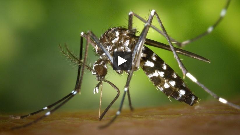 Moustique Tigre. 23 cas de Dengue en Occitanie, 8 en Haute Garonne