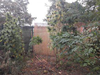 Muret. les plants de Cannabis dépassaient au dessus de la clôture