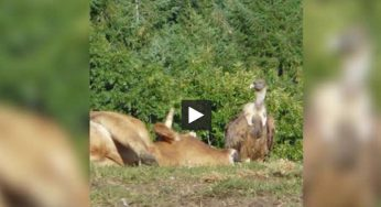 Tarn. les vautours attaquent à Massals