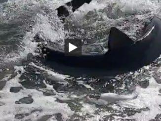 Un requin de 2 mètres échoué sur une plage des Pyrénées Orientales