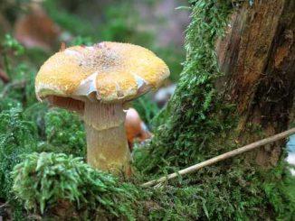 Comestible ou non ? Deux jours pour apprendre à reconnaître les champignons