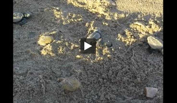 Des tortues marines sont nées sur la plage de Villeneuve-les-Maguelone
