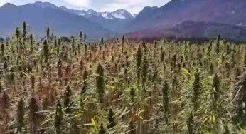 Saisie de 15 pieds de Cannabis en plein centre de Lavaur