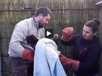 Insolite, un aigle royal soigné à l'école vétérinaire de Toulouse