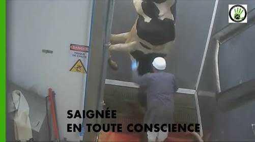 Une vidéo choc de l'abattoir de Narbonne fait polémique