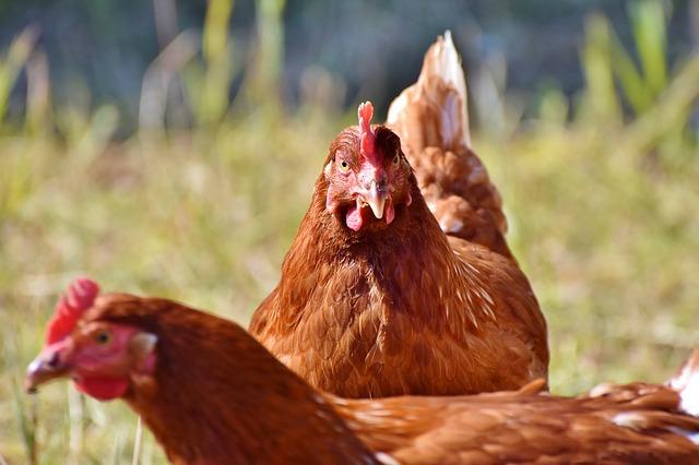 Toulouse : il se fait voler ses poules pour la quatrième fois en cinq ans