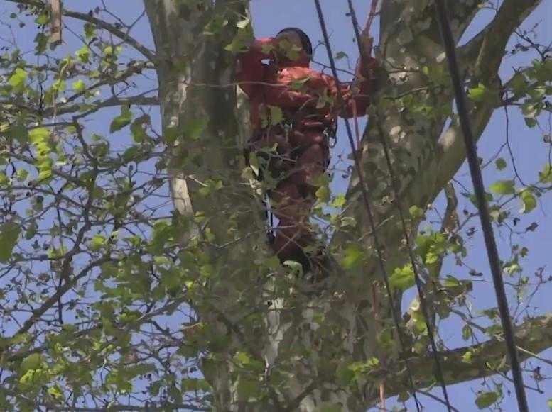 Insolite. Opposé à l'abattage de platanes, ce Tarnais monte en haut de l'arbre pour empêcher les travaux.