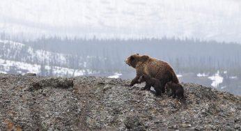 Deux oursons des Pyrénées seraient morts